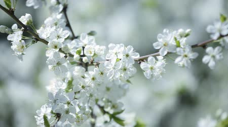 cereja : blossoming cherry Stock Footage
