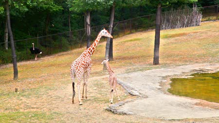 bird family : Beautiful giraffe breastfeeding cup in the zoo in sunny day