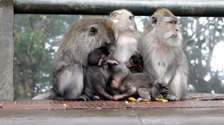 majom : Family of monkeys sits on the rock