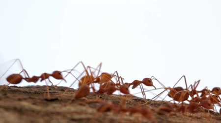 муравей : Macro shot of ant activity