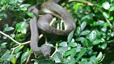 змей : Green snake in rain forest