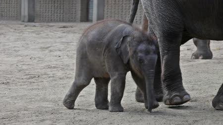 yaban hayatı : baby elephant in Zoo Stok Video