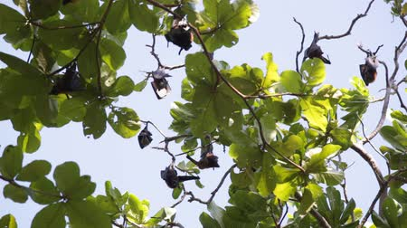 pteropus : elaxed flying foxes sleeping on the tree during day Stock Footage