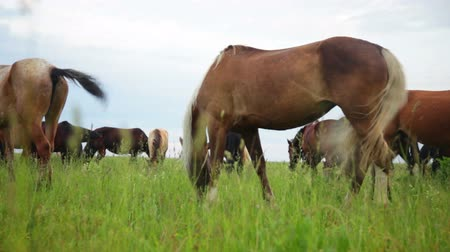 kanca : Herd of horses in the pasture Stock mozgókép
