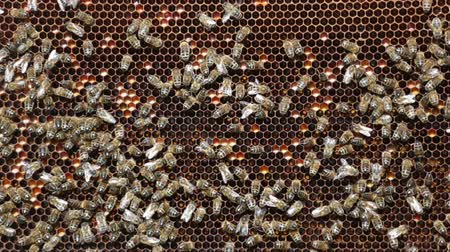 estudioso : Close up view of the working bees on honeycells