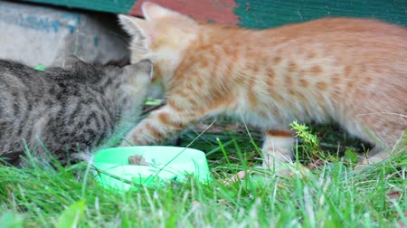 hides : Gray and red kittens eating food from a bowl