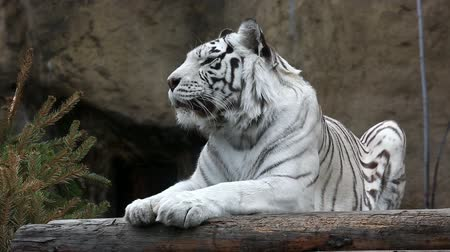 kaplan : White Bengalese tiger close up Stok Video