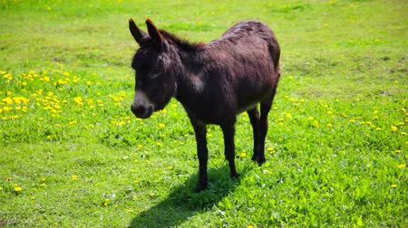 burro : little donkey  is grazed on a glade with dandelions Stock Footage