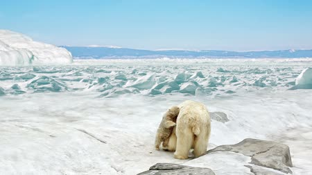 полярный : She-bear with bear cubs stand on snow in the Arctic
