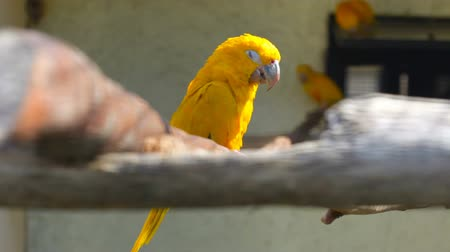 ara papagáj : small yellow parrot sits on a branch Stock mozgókép