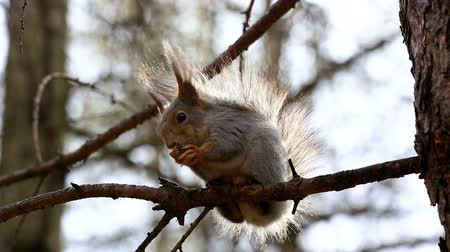 sciuridae : Red squirrel sitting on tree branch and eating nut