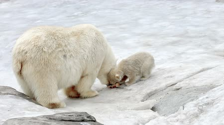 полярный : Polar bear and cub eating meat on small floe in zoo