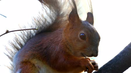 sciurus vulgaris : Red squirrel sitting on tree branch and eating nut