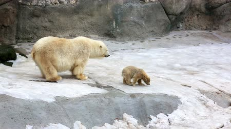 полярный : Polar bear and funny cubs on small floe in zoo