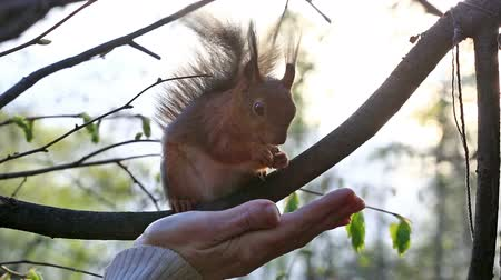 sciuridae : Woman feeding red squirrel from palm in forest