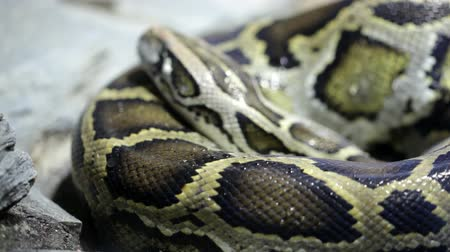 yılan : Static reticulated python resting on sand of aquarium
