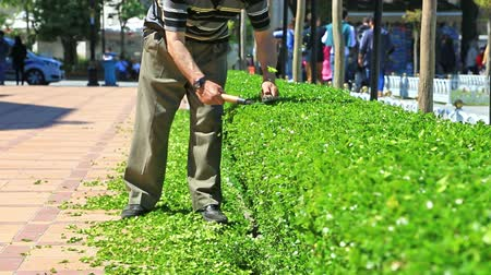 secateur : Male worker arranging green hedge with cutter, pedestrians passing by at sunny day.
