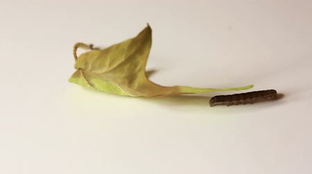 disambiguation : Small caterpillar moving slowly around maple leaf