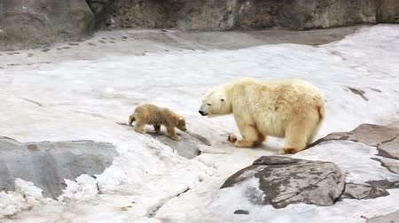 полярный : Polar bear cub running to mother to eat together