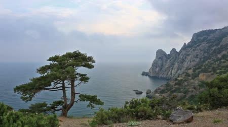 único : pine tree growing on the slope of the mountain in the Crimea Vídeos