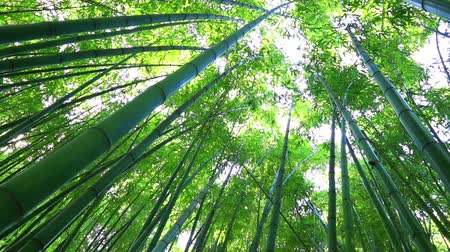 bambusz : Bamboo forest. The trunks of bamboo stretch up high