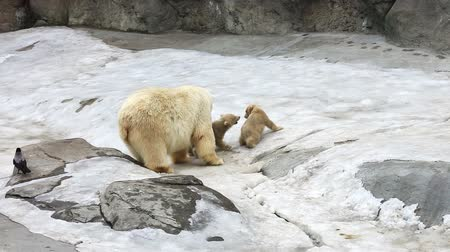 полярный : Family of polar polar bears - a she-bear with bear cubs on snow