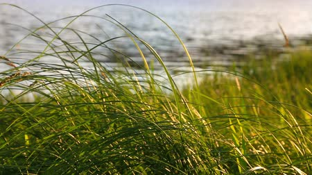 peaceful : Grass at sunsett. Nature peaceful composition. Stock Footage