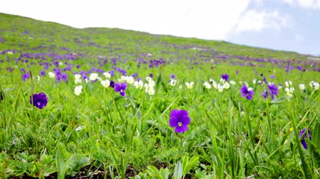 Mountain violets flowers against a green grass are shaken by wind Vídeos
