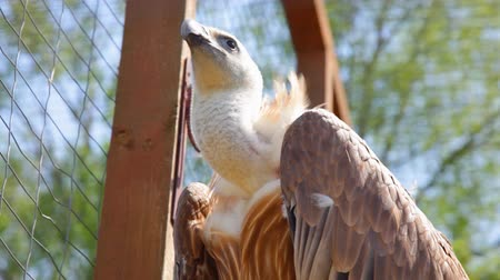 Beautiful griffon vulture (lat. Gyps fulvus) in the cage