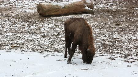 Bison looks for food under the snow on a snow-covered field