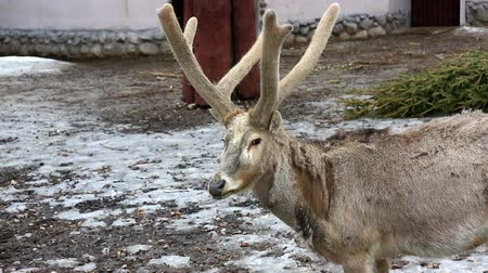 Great male reindeer with beautiful horns in the zoo