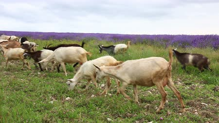 Herd of goats grazes on a green summer field