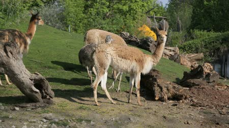 Lamas and nandu (lat. Rheidae) on the slope of a green hill in summer Vídeos