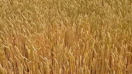 waggle : Grain cobs flexing in the wind in the fields and waving movements of the camera. Stock Footage