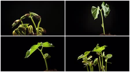 lapse : Time-lapse of growing haricot Stock Footage