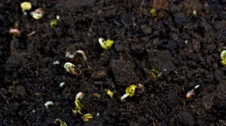 talaj : radish germination