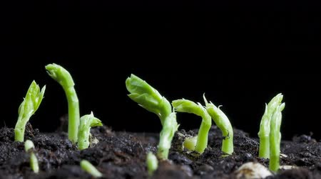 tohum : timelapse of pea seeds germination Stok Video