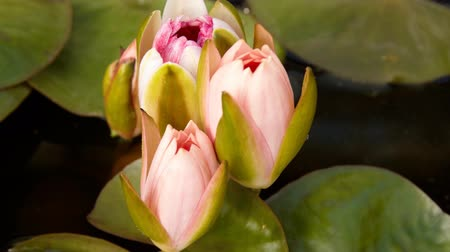 lapso de tempo : Time lapse opening of water lily flower