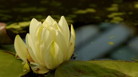 flower : Time lapse opening of water lily flower