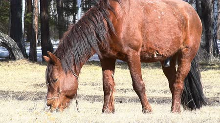 otlama : horse near spring forest Stok Video