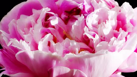 flower : timelapse of peony flowering  Stock Footage
