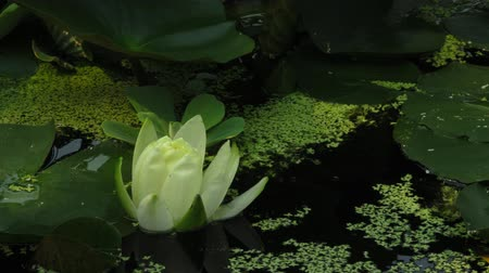 detail : Time lapse opening of water lily flower
