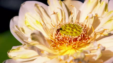 blooms : Time lapse opening of white lotus Stock Footage