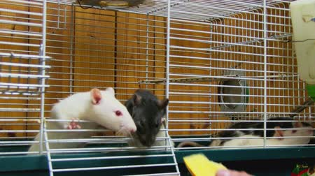 fare : a person feeding rats in the cell
