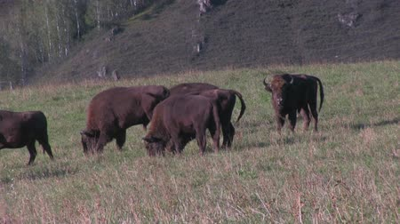 vadon élő állatok : Bison herd grazing. Bison is the largest land mammal in North America Stock mozgókép