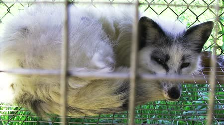 gaiola : Young fox lying