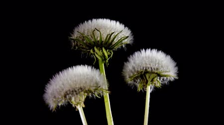 саженцы : Opening dandelion on black background. Time Lapse  Стоковые видеозаписи