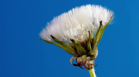 nadzieja : Opening dandelion on blue background. Time Lapse Wideo
