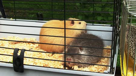 świnka morska : Two guinea pigs inside the cage