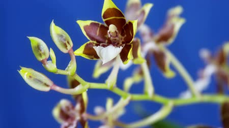 orquídeas : Orchid Flower Blooming Close Up. Timelapse. Blue background